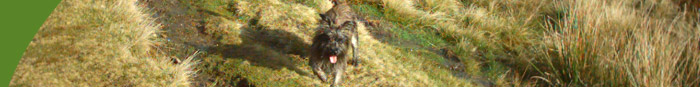 Cairn Terriers UK